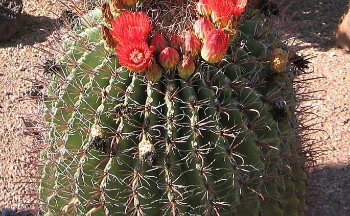 Free fish hook barrel cactus seeds gardening seeds for Fish hook cactus