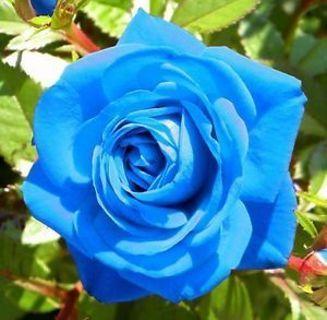 Light Blue Osira Rose Seeds. Very Rare!  Free Shipping!
