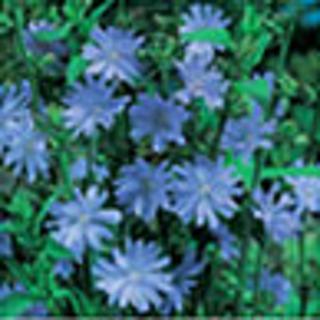 25 plus Chicory seed ....Perennial
