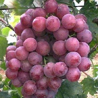 Giant Red Globe Grape - 10 Seeds