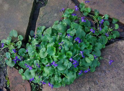 Wild Violet live root!