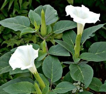White angel trumpet seeds