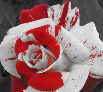 Artistic white and red rose