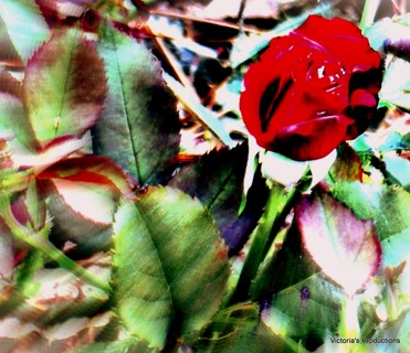 Beauty is in the Eye of the Beholder ROse or  Pinup Rosa