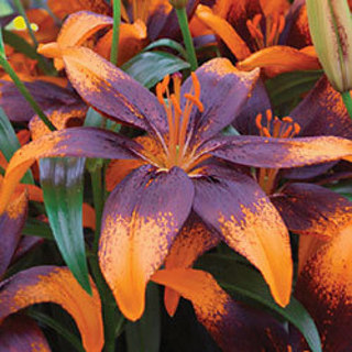 Orange Art Tango Lily 2 bulbs
