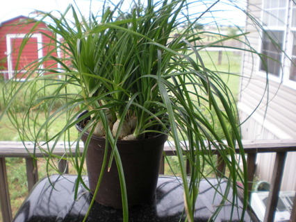 ONE PONYTAIL PALM BABY~HARD TO FIND~L@@K!!