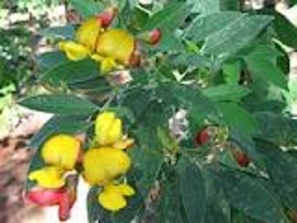 PIGEON Peas seeds #20