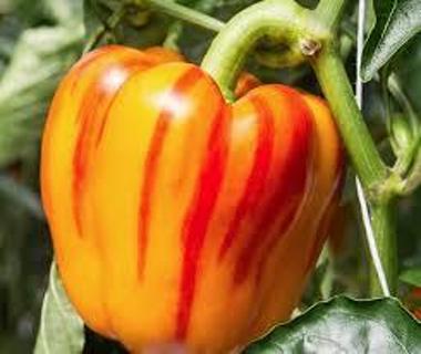 Enjoya striped bell pepper seeds