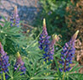 12 plus Perennial Lupine -Purple/Pink mix