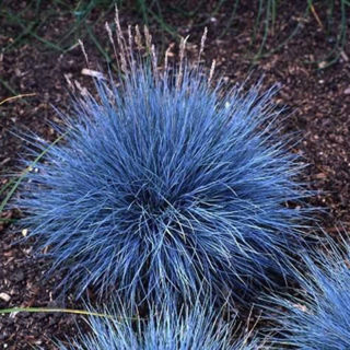 Blue Fescue for You