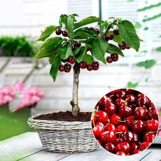 0PCs Cherry Seeds Organic Seeds Fruit Seeds Bonsai Tree High seed in the Garden