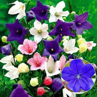 200pcs-Mixed-Balloon-Flower-Seeds-Chinese-Bellflower-Platycodon-Grandiflorus