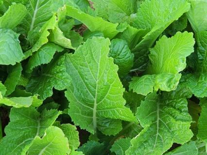 Mustard, Florida Broad Leaf