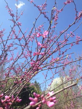 Eastern Redbud tree seeds 20 seeds!