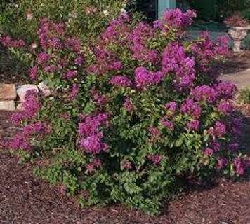 PURPLE Crape Myrtle Bush 10 Seeds