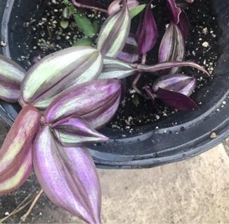 Plant start purple Wandering Jew