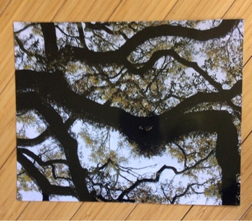 Live Oak in Savannah - 8X10 Original Photograph