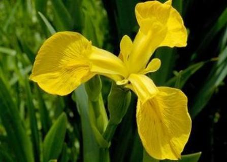 Bright Yellow Water Irises, 12+ seeds