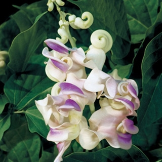 "Vikki'sGarden◠◡✿ ""ONLY ONE!"" RARE ""CORKSCREW VINE"" ~ HEAVENLY SCENTED ~ NAUTICAL SPIRALS ~ 5 SEEDS!"