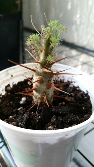 Sarcocaulon (monsonia herrei)  Miiniature Cactus