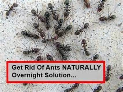 HOW TO GET RID OF ANTS HOMEMADE RECIPE + 2 BONUS RECIPES