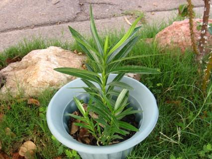 Red  Nerium Oleander W/GIN