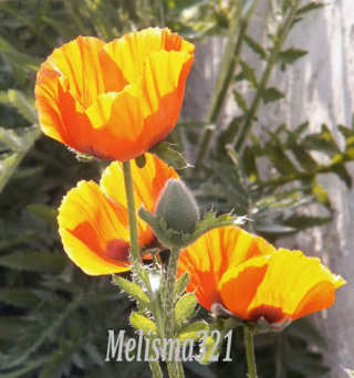 Oriental Poppy Papaver orientale  30+ seeds