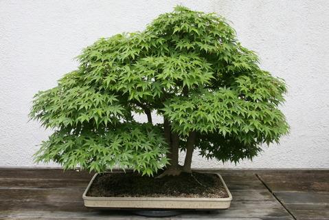 ▲▲ Grow Your Own Bonsai ▲▲Seeds
