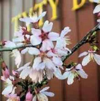 10+ CHERRY BLOSSOM TREE SEEDS STRAIGHT FROM GRANDMA'S FRONT YARD