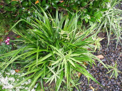 GREEN SPIDER PLANTS