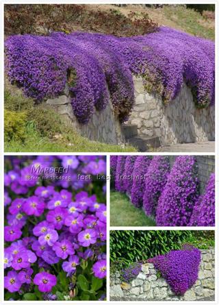 HOT 250 Aubrieta Seeds Cascade Purple FLOWER SEEDS, PERENNIAL , DEER RESISTANT