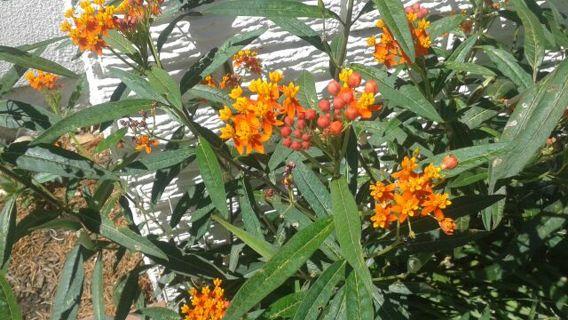 Milkweed Butterfly Garden Seeds Monarch