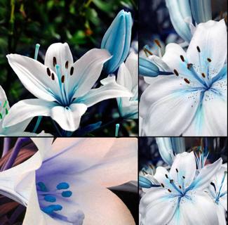 Home Garden 50pcs Blue Rare Lily Bulbs Seeds Planting Lilium Perfume Flower HOT