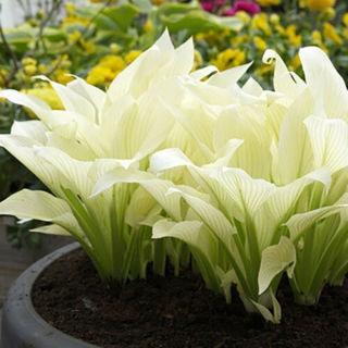 Hosta Plantaginea Seeds Fragrant Plantain Flower Fire Ice Shade White Bonsai