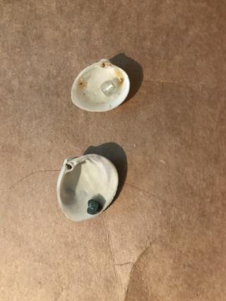 2 small shells  ID T42