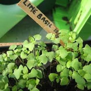Lime Basil Herb Seeds