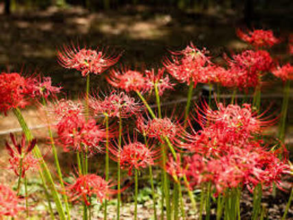 20 bulbs Spider  Lilly's
