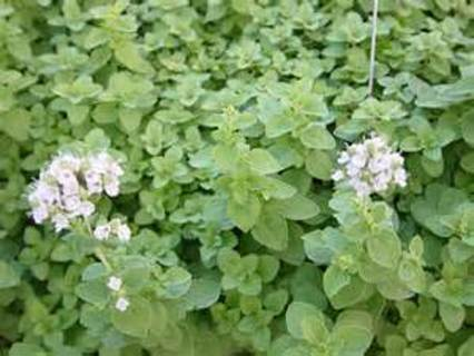 25 plus Sweet Marjoram seed