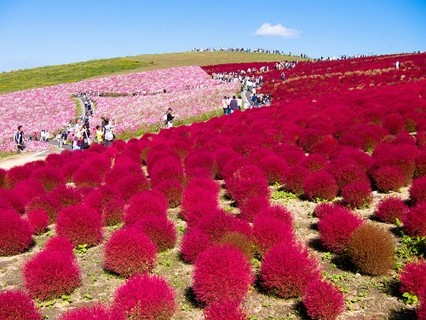 Free 1000 Seeds Grass Burning Bush Kochia Scoparia Red Flower
