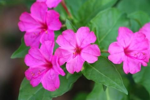 Hot Pink 4 O'Clock Floral Seeds, 12+