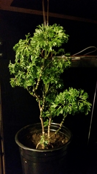 "MING ARALIA (Parsley Aralia) *Over 12""  Two Individual Plants"