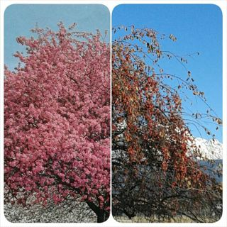 Pink Tree ~Crab Apple~10+seeds