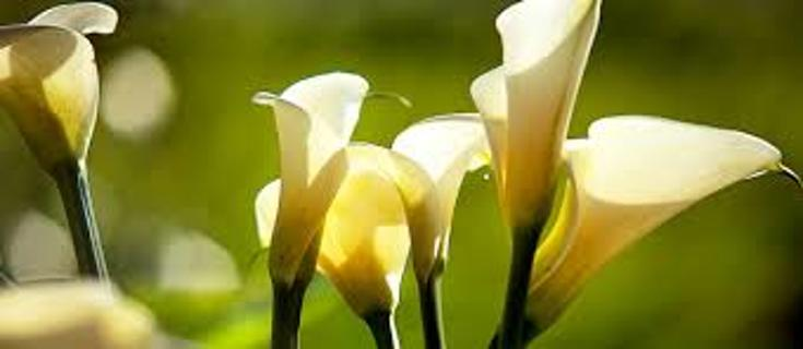Calla Lilys Yellow Seeds 5