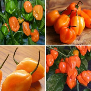 30++ Habanero Orange Hot Pepper Seeds NON-GMO