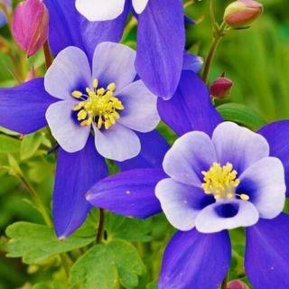 Columbine (Aquilegia Caerulea) Blue Star- 50 seeds