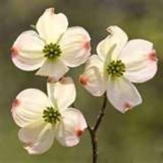 Dogwood Tree 10 Seeds
