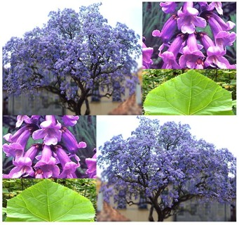 ROYAL EMPRESS TREE SEEDS   25  SEEDS