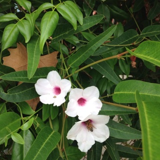 White Trumpet flower seeds (20+)