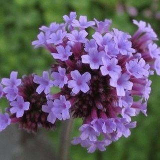 2000 Purpletop Vervain Wildflower Seeds - Gold Vault Jumbo Seed