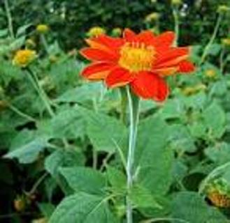 mexican sunflowers seeds